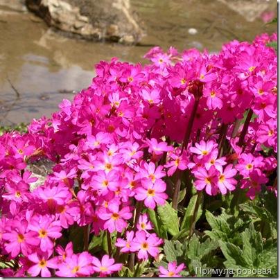 Примула розовая