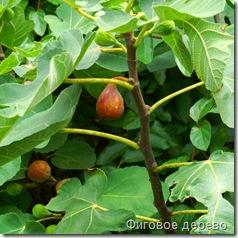 Фиговое дерево