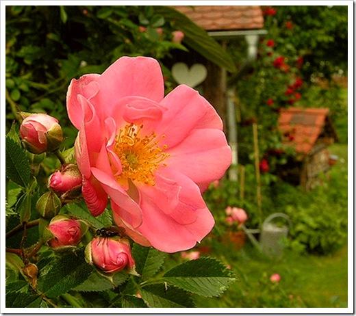 Роза сорта 'Ferdy'