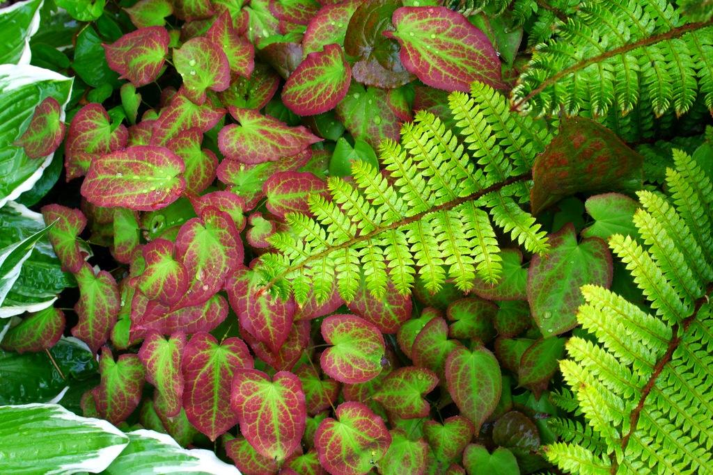 Стелющиеся растения хоста эпимедиум