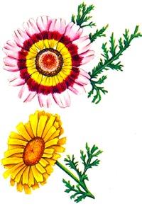 Хризантема трехцветная и увенчанная