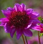 Георгина фиолетовая