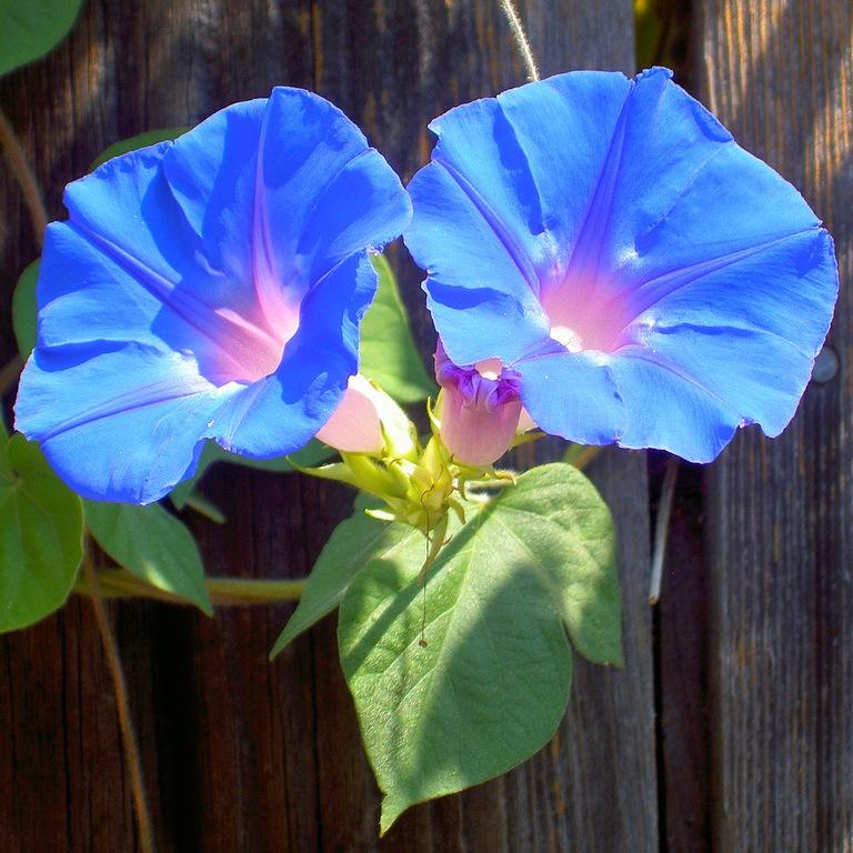 Смотрите, что получается.  Есть вот такой вьнок, он мне нравился, сам цветок, большой, небесно-голубой.