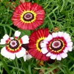 Хризантема трехцветная