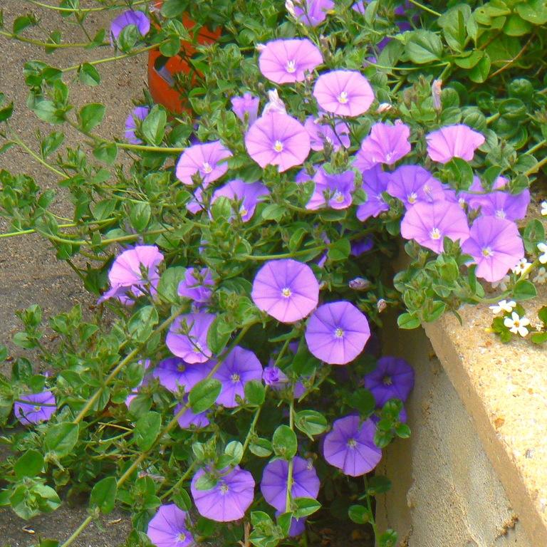 Вьюнки цветы