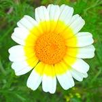 25 Chrysanthemum coronarium7