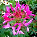 Клеома колючая розовая