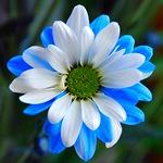 Хризантема голубая с белым