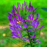 Клеома колючая фиолетова