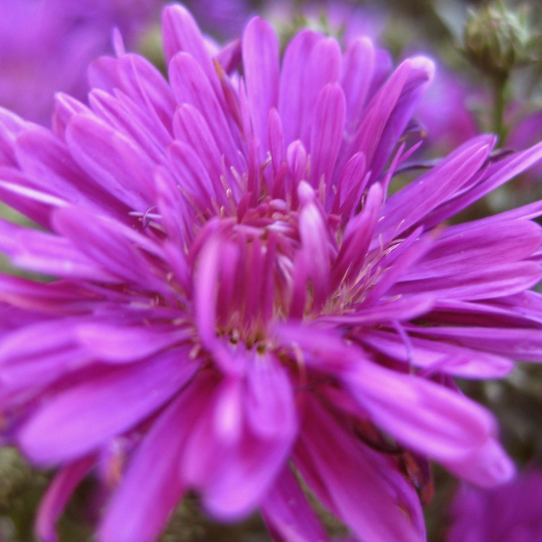 Если любимые цветы астры