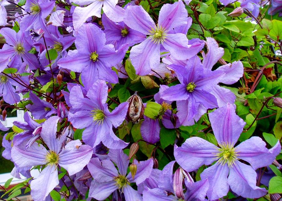 Суперцветок для любого сада