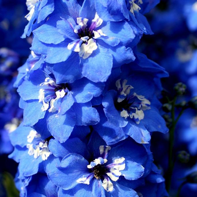 http://flowers.cveti-sadi.ru/files/2010/02/Delphinium1.jpg