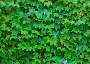 Девичий виноград 'Veitchii'