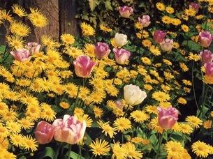 Тюльпаны и дороникум в цветнике
