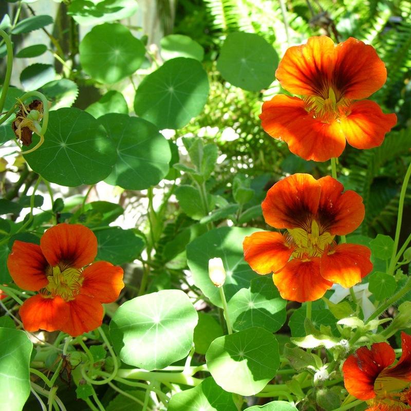 http://flowers.cveti-sadi.ru/files/2010/02/nasturtium.jpg