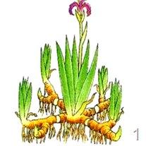 Размножение отростками корневищ
