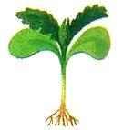 Стадия развития растения для прореживания