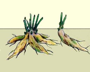 Деление корневищ пионов