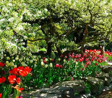 Тюльпаны под деревом