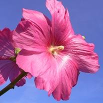 Розовая мальва