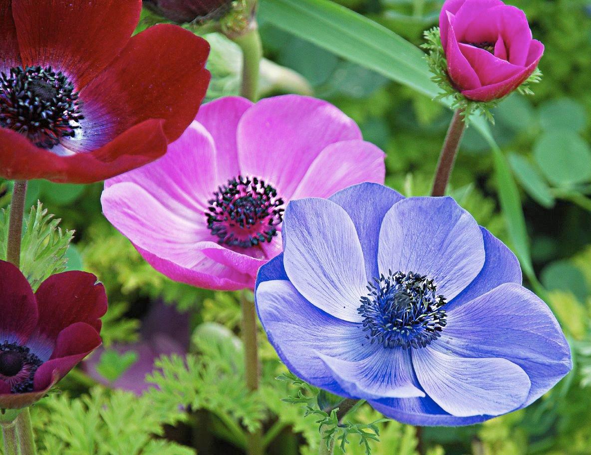 Цветы анемоны.фото