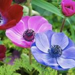 Анемоны: нежные цветки, яркие краски