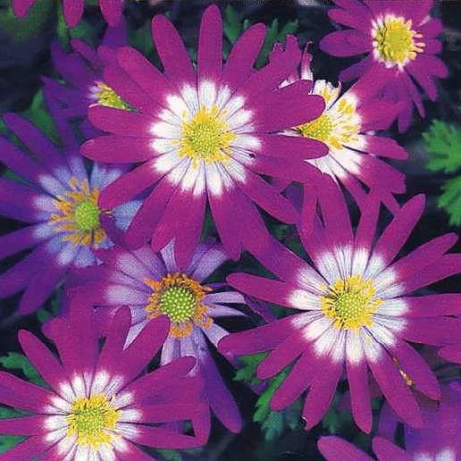 цветы крупноцветковые фото и описание