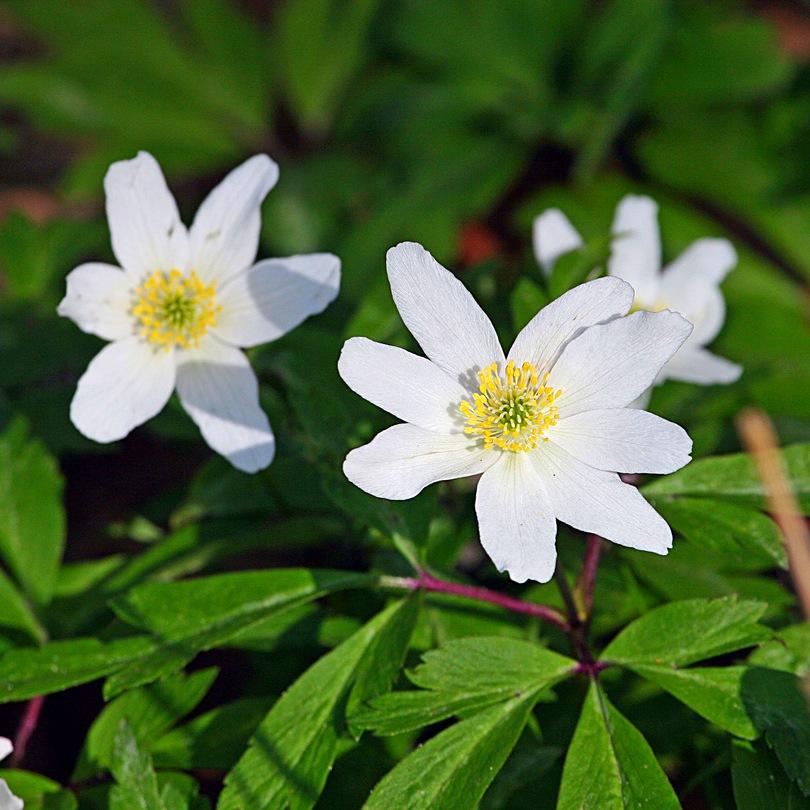 Ветреница дубравная цветок