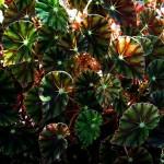 Бегония с  декоративными листьями