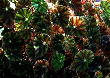 Листья бегонии корневищной