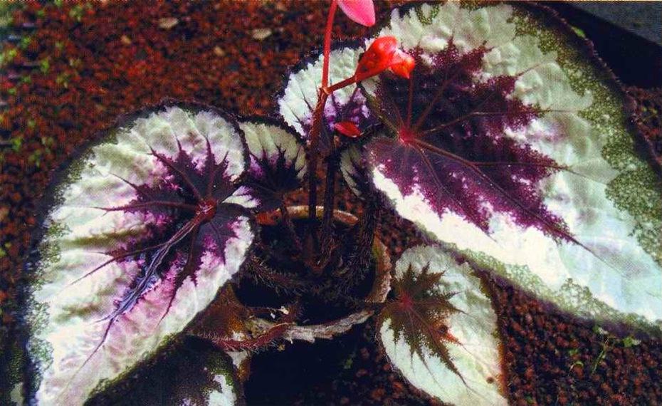 Бегония королевская фото листьев