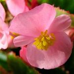 Розовая бегония