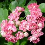 Цветущий розовый боярышник