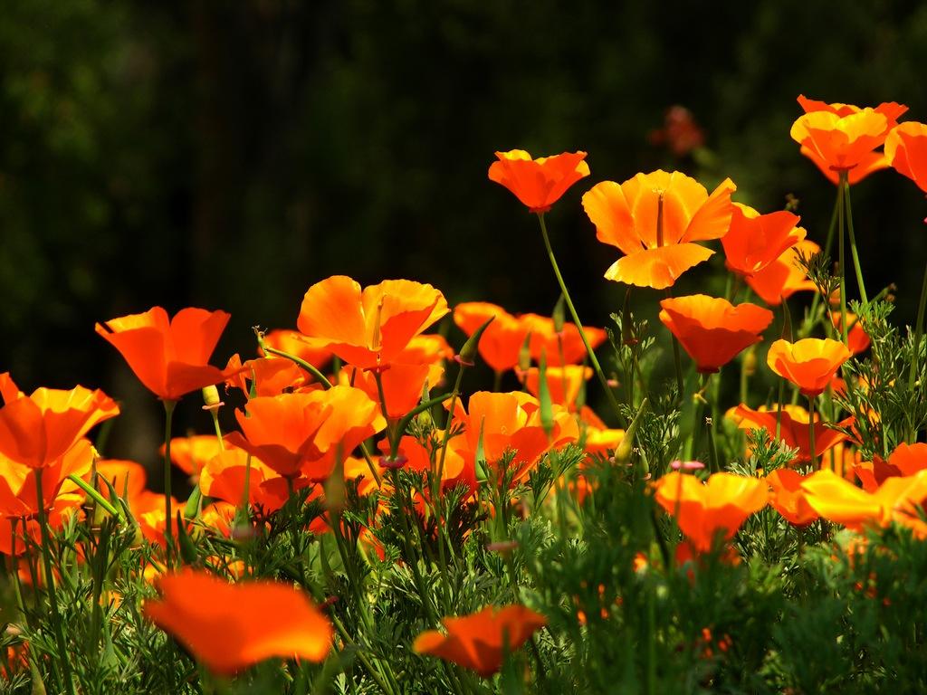 Эшшольция (Eschscholzia) - красочное ...: flowers.cveti-sadi.ru/eshsholciya-kalifornijskij-mak