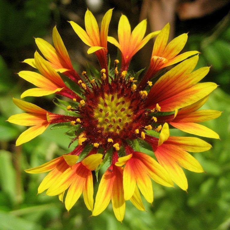 Гайлардия крупноцветковая смесь выращивание из семян 78