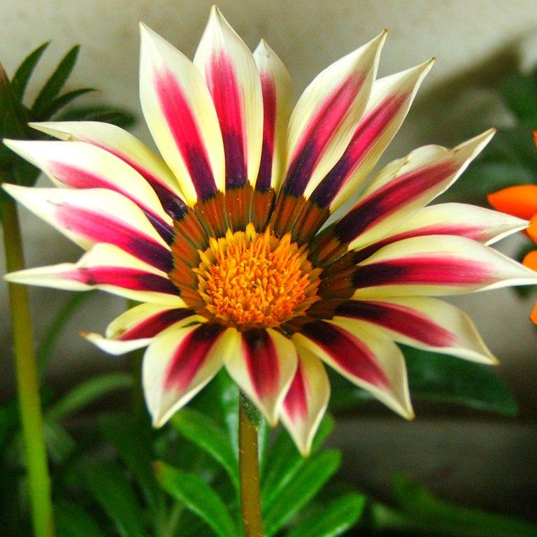 Купить рассаду цветов:Газания