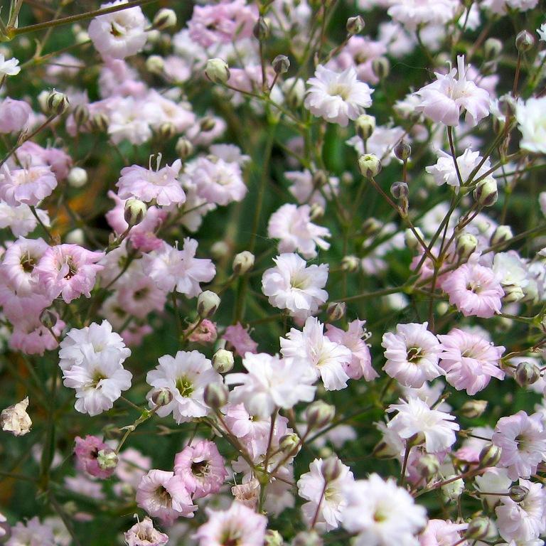 цветы розовые Гипсофила метельчатая фото источник: flowers.cveti-sadi.ru Гипсофила метельчатая - Gypsophila paniculata.