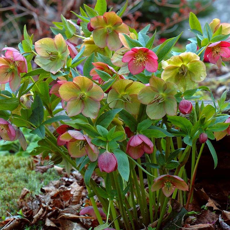 Цветы морозник черный и восточный ...: flowers.cveti-sadi.ru/rannie-zvezdy-morozniki