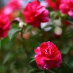 Бальзамин – нетерпеливый цветок
