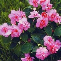Бальзамин Роз Парад Rose Parade