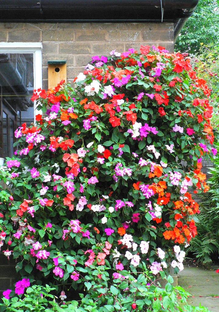 Цветы для посадки бальзамин