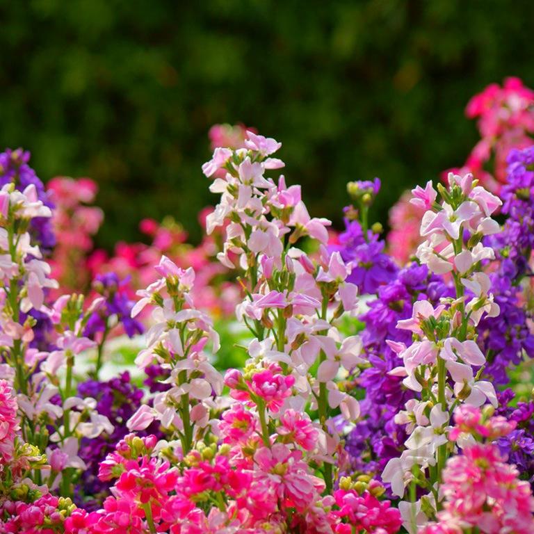 Цветы садовые левкои