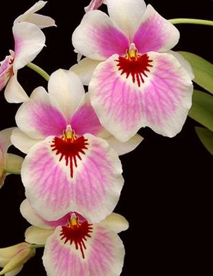 Орхидея Милтония гибридная