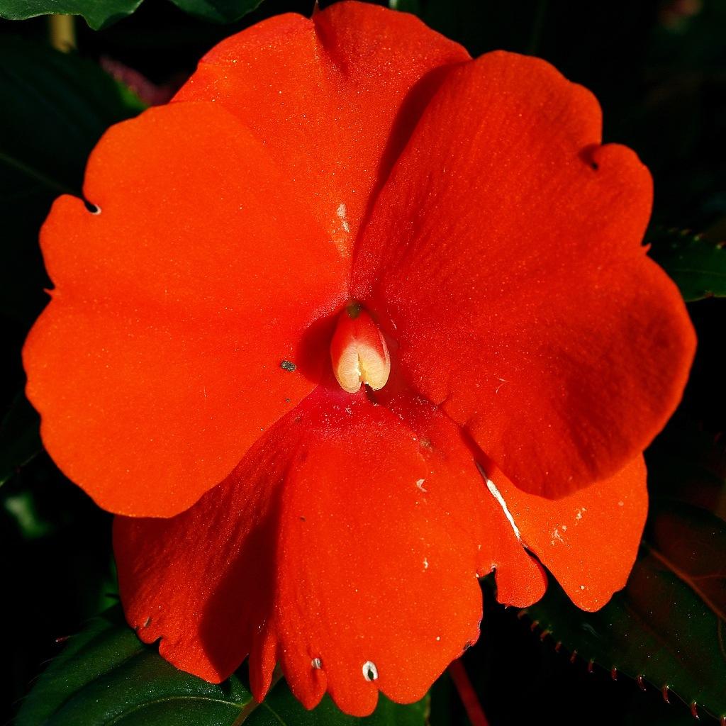 Бальзамин новогвинейский уход, фото Любимые цветы 8