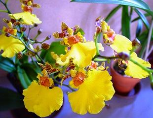 Орхидея Онцидиум Джапан