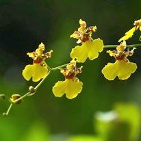 Орхидея Онцидия