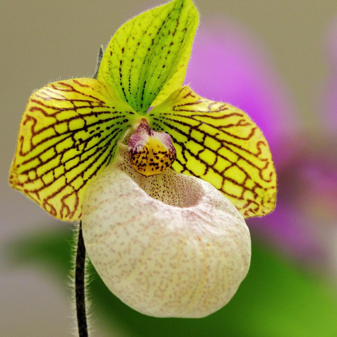 Домашний цветок башмачок