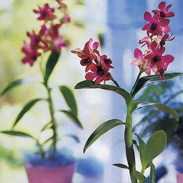 Орхидея дендробиум фаленопсис