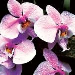 Орхидея: как ухаживать за ней