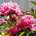 Травянистый розовый пион